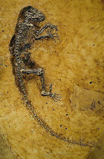DISCOVERED 1983 - IDA is a 47 million-year-old, perfectly preserved primate recovered from the Messel Pit in Germany as the so called missing link. Then it was later revealed that the Ida fossil was not the missing link.