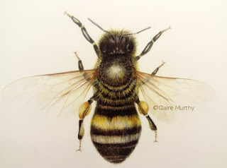 Traditional drawing of a honey bee using coloured pencils. Wildlife Art Illustration.