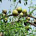 बेल फल खाने के फायदे | health benefits of wood apple in hindi
