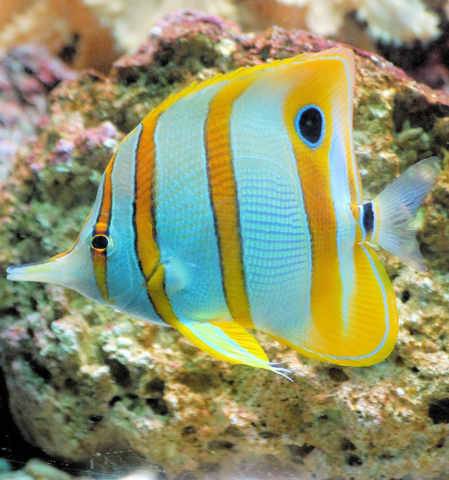 A photo of a butterfly fish.