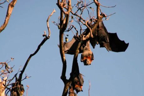 Bat immune response may hold key to combating diseases such as Ebola in humans