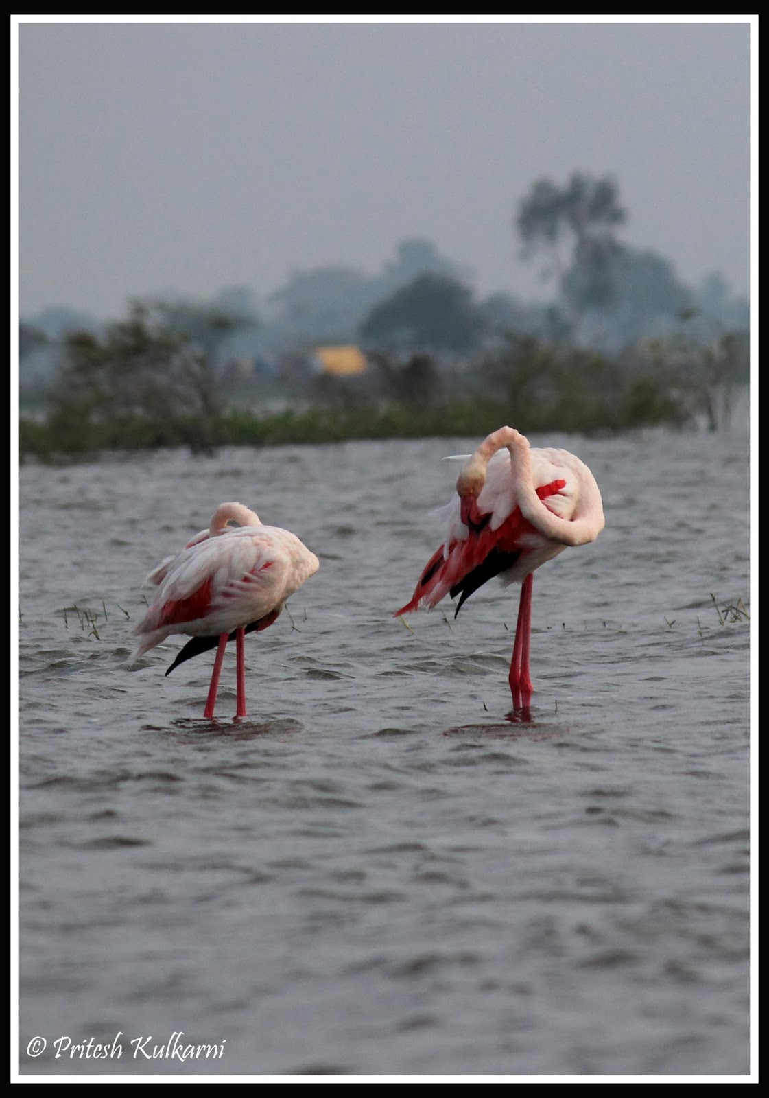 Check my Neck - Greater Flamingo