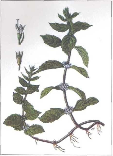 Hình ảnh Bạc Hà nam - Mentha arvensis - Nguyên liệu làm thuốc Chữa Cảm Sốt