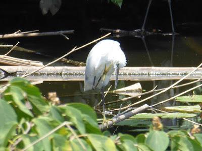 太秦2号公園で見られる野鳥 ダイサギ?