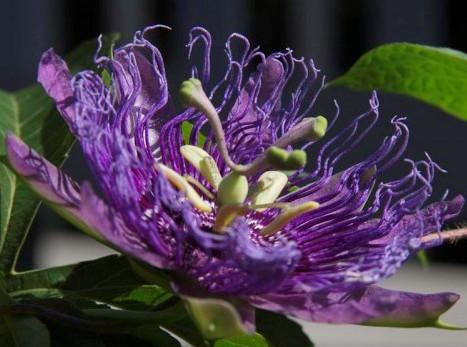 Passionflower: Rainforest Plants - Passion Flower