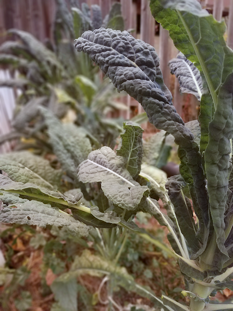 Lacinato kale, a.k.a. dino kale, Tuscan kale, Italian kale and black cabbage, is the star ingredient in this delicious and easy recipe