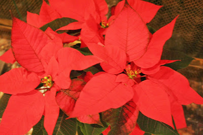 Focus on life ~ A pop of red :: The poinsettia, a Christmas tradition :: All Pretty Things
