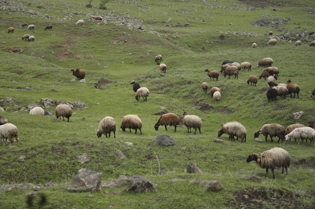 sheep grazing in the countryside of Armenia