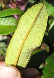 Macairea sp., Melastomataceae