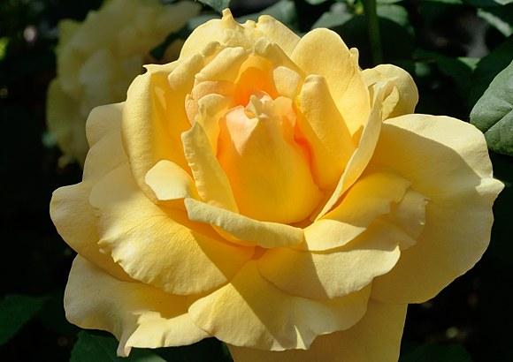 Sophia Renaissanse сорт розы фото купить саженцы Минск питомник