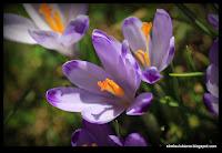 http://strefaulubiona.blogspot.com/2015/04/krokusowe-wspomnienie-z-chochoowskiej.html