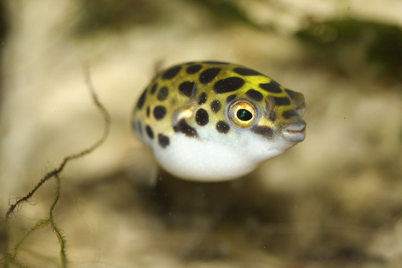 Gambar Ikan Hias Air Payau-Green spotted puffer