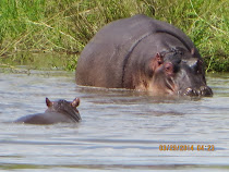 Mama and baby hippo near Oliphant Camp, Kruger National Park, South Africa