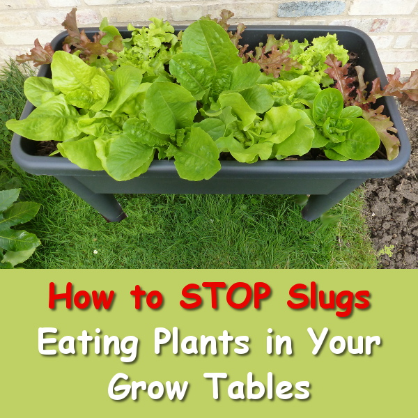 Deter slugs and snails from eating plants fruits and vegetables in your growing tables with this one little trick