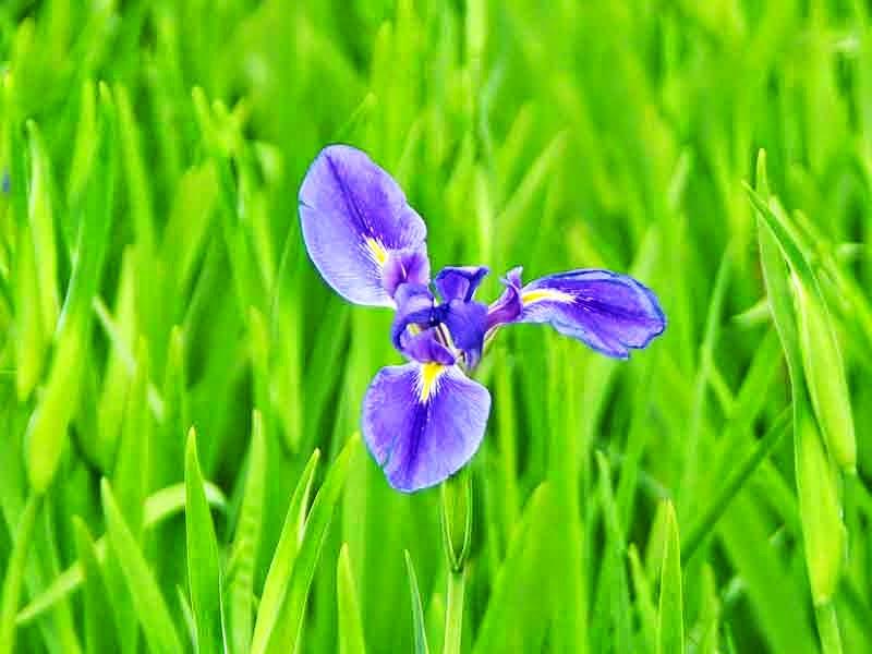 flower,iris