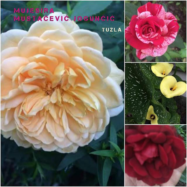 Tuzla: fantastično drugo cvijetanje Graham Tomasa u Mujesirinom vrtu.