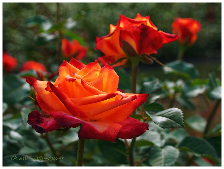 róża mein munchen