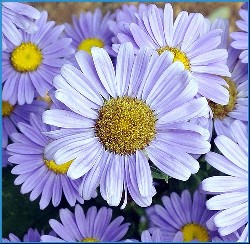 BEAUTIFUL FLOWERS: Daisy Flowers - Pictures & Meanings