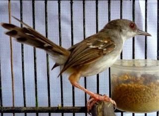 Burung Ciblek - Melatih Burung Ciblek Agar Cepat Makan Voer - Penangkaran Burung Ciblek
