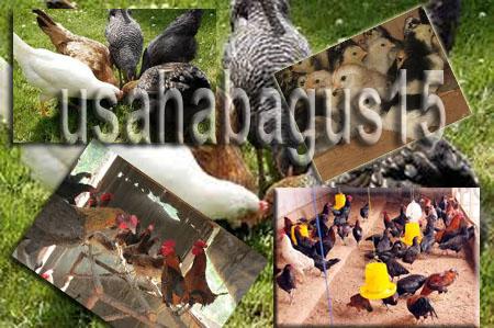 dibidang peternakan memang mempunyai prospek serta laba yang sangat Peluang Usaha Ternak Ayam Kampung Paling Untung