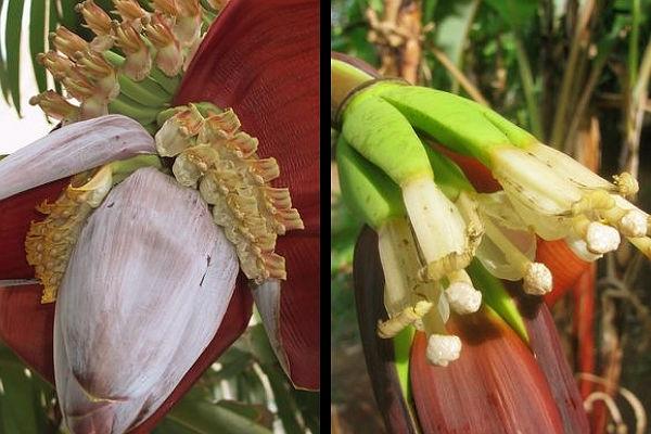 Las flores del banano pueden florecer durante todo el año en climas que e favorezcan y en suelos ricos