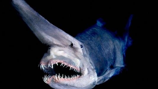 Goblin Köpekbalığı Hakkında Bilgi