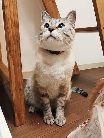 どこかを見つめているシャムトラ猫