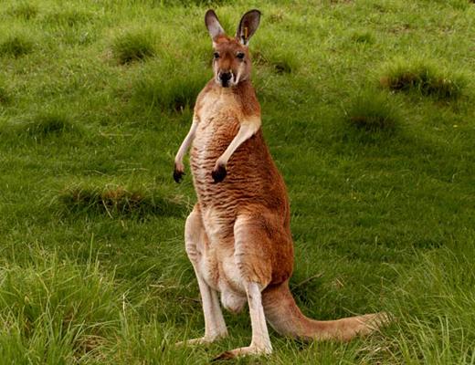 Information About Kangaroo