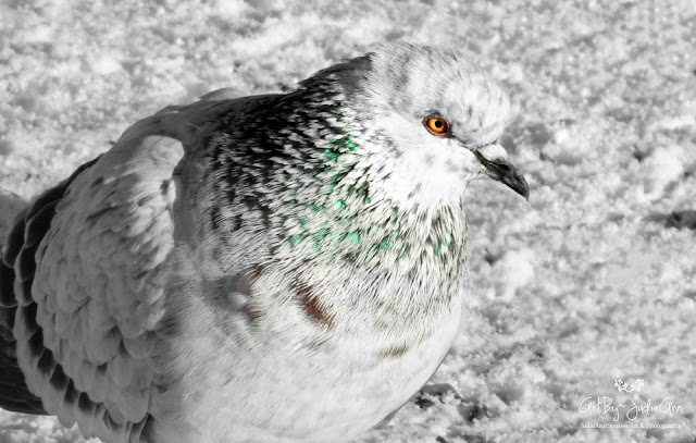 Pretty Pigeon Photo