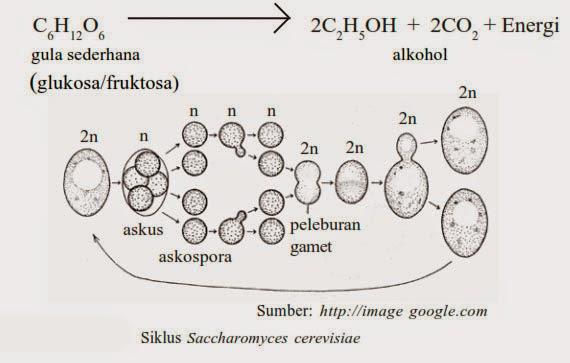 Siklus Saccharomyces cerevisiae, Ascomycotina, jamur fungi, ciri fungi