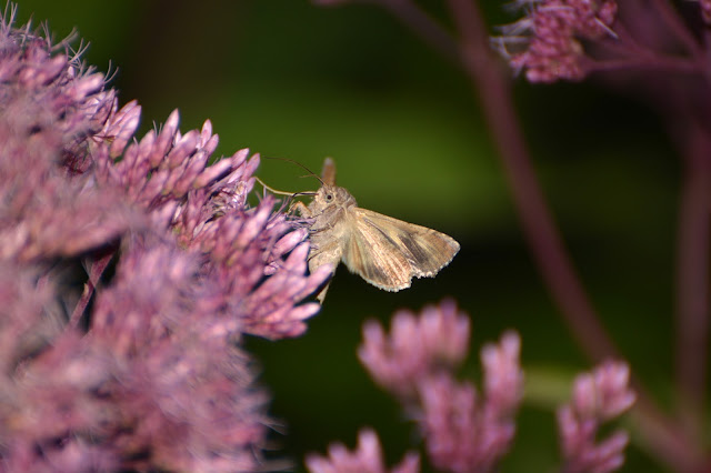 Eupatorium Flowering Plant Photo by Ela