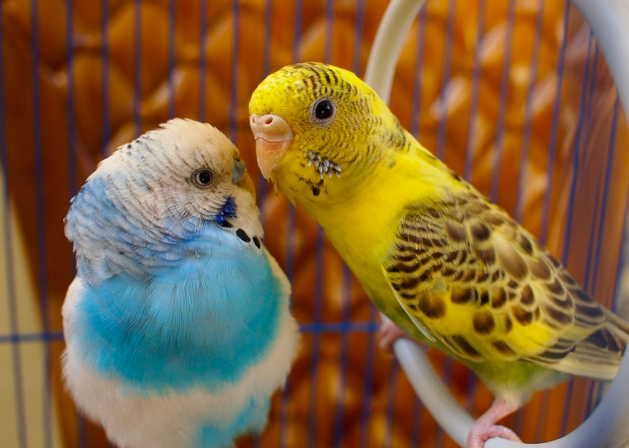 40 Beautiful Love Birds Wallpapers