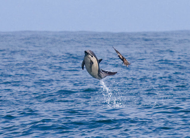 Sooty Shearwater puts on the brakes to avoid flying into leaping Common Dolphin