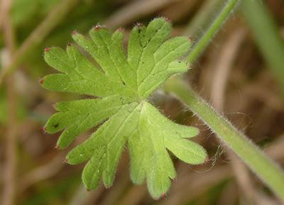 Hoja de perrubio (Geraniumm pyrenaicum)