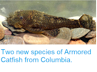 http://sciencythoughts.blogspot.co.uk/2013/11/two-new-species-of-armored-catfish-from.html