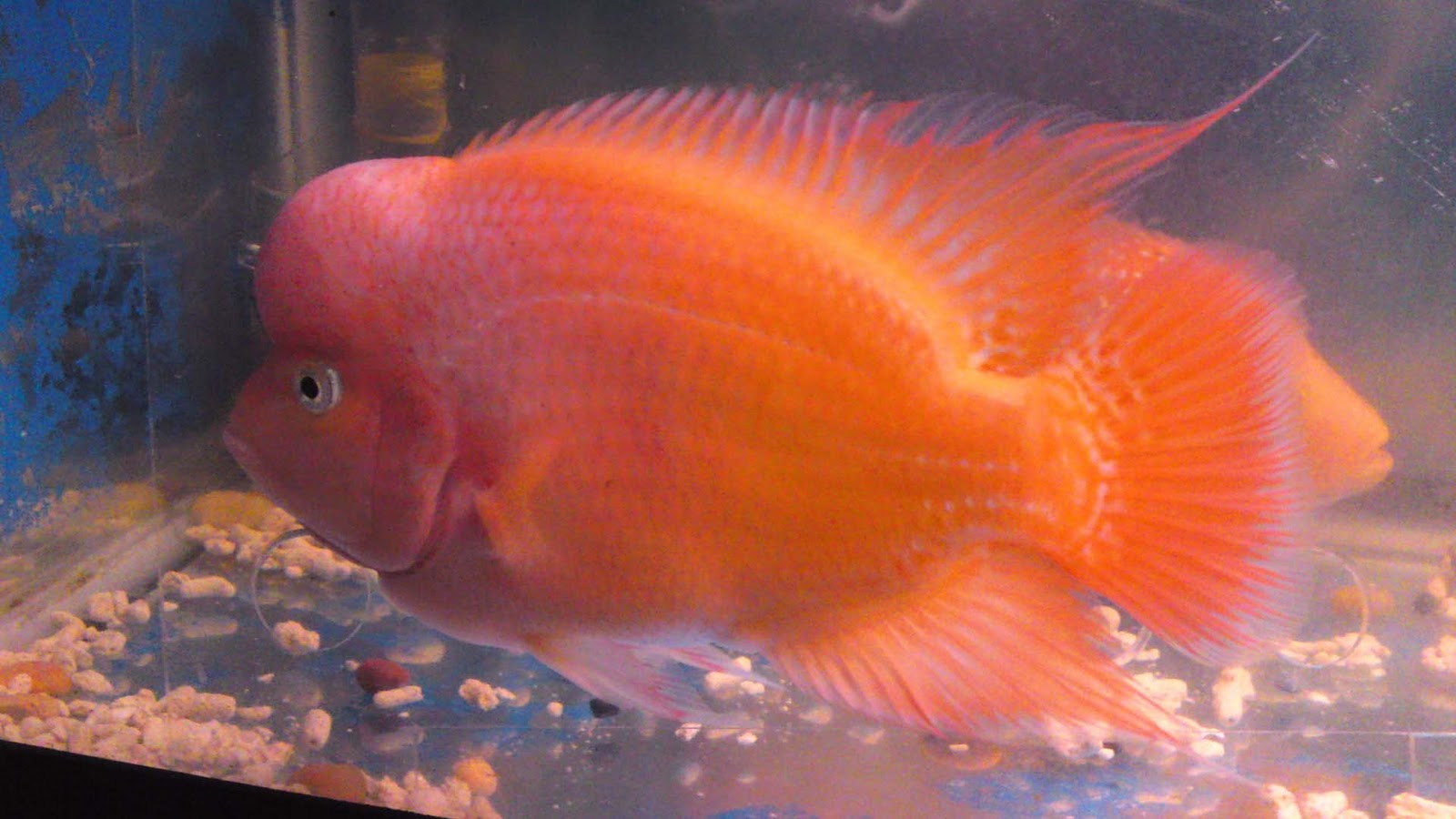 Cozy Flowerhorn The Hybrid Cichlids Louhan Red Monkey - Ivoiregion