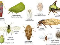 Kunci Determinasi / Identifikasi Ordo Serangga (Insecta)