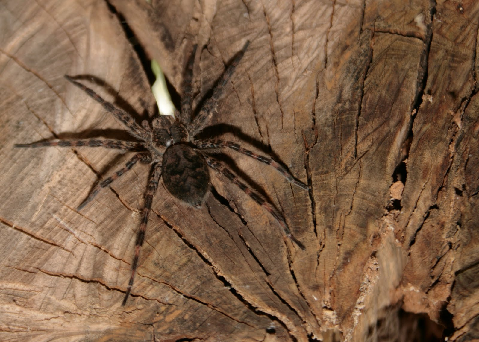 Largest Real Spider Ever