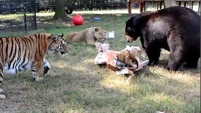 tigre y oso hacen desastre con la basura