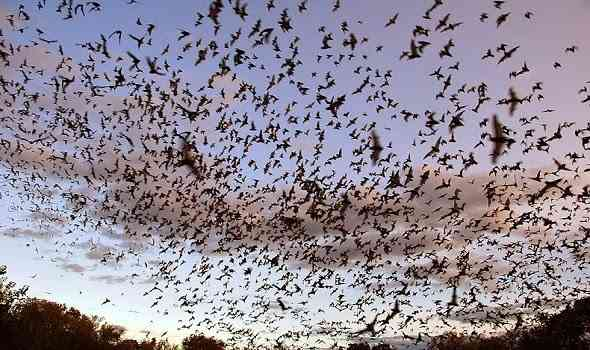 bracken-cave-bats-خفافيش-كهف-بركن