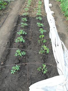 Безрассадные помидоры - середина июня