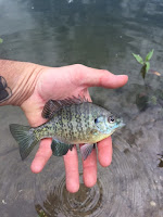 Little Pan Fish in a man's hand