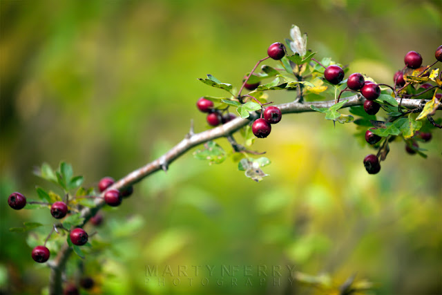Maroon berries in this close up nature image from Monks Wood