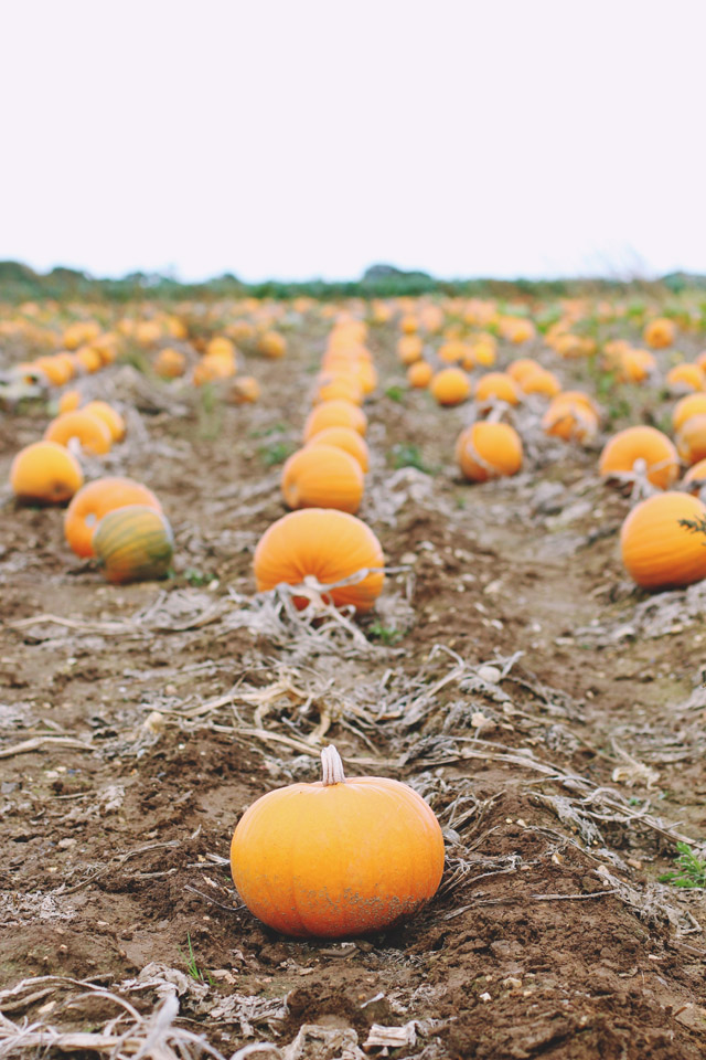 Pumpkin Farm England
