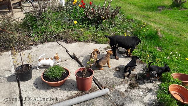 Spirellis Allerlei - HundeWelpen sind bei Tasso registriert