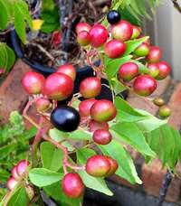 Curry Leaf  Plant Berries Fruits
