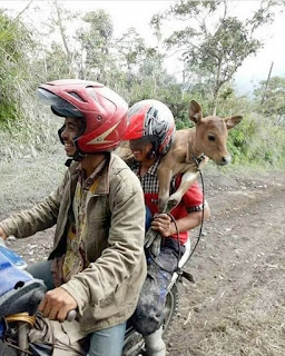 Residents in Mount Agung are displaced by cattle when erupting
