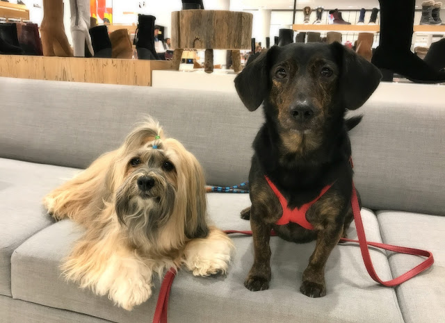 Rocco Havanese dog and Dolly Doxie at Nordstrom