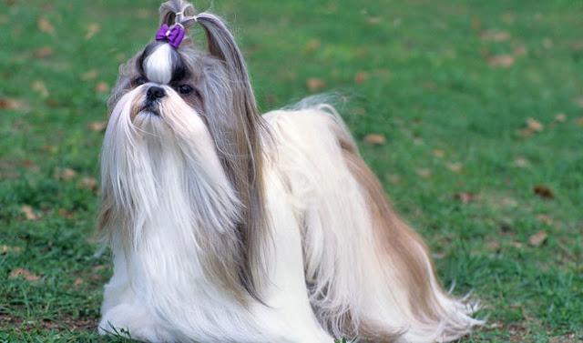 كلب التشيه تزو