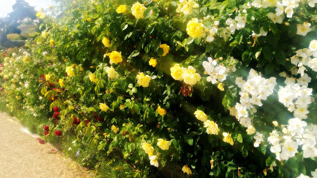 Bowood Wall of Roses
